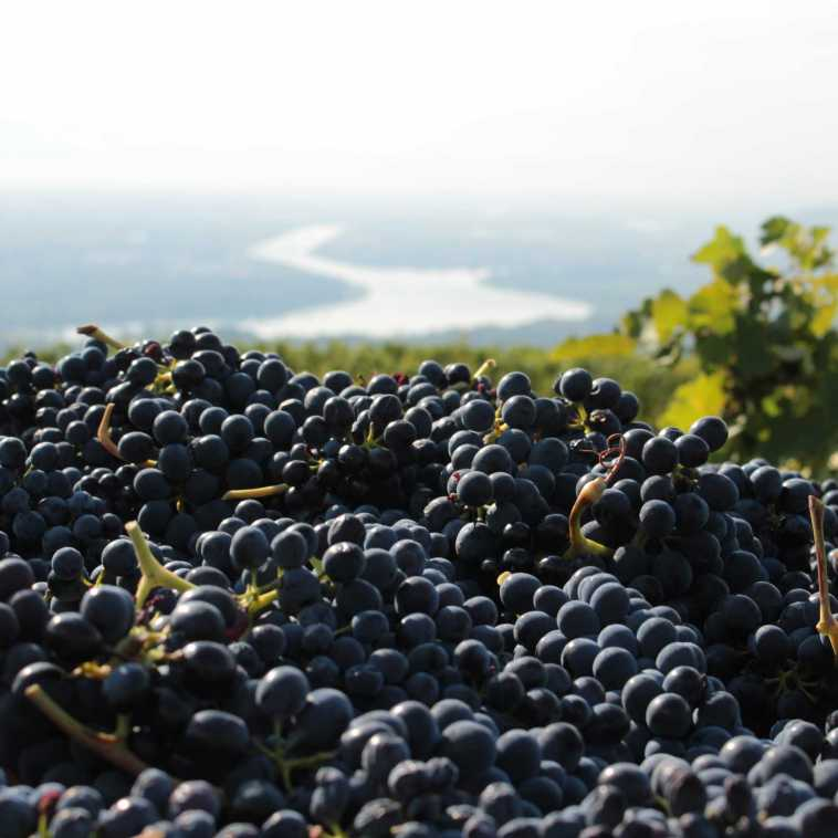 Syrah grapes of Saint-Joseph