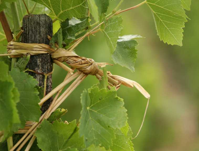 Tying up the vines traditionally, in Hermitage